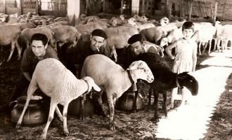 Historia - Ordeño del ganado