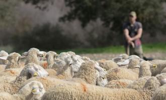 Conoce a nuestras ovejas manchegas