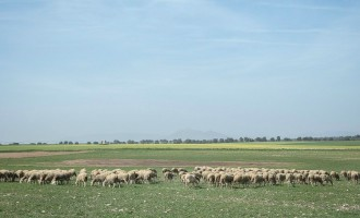 El ganado pastando
